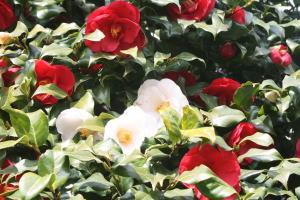 赤と白の混在した牡丹